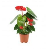 Anthorıum Saksı Çiçeği 2