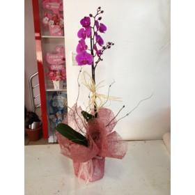 Çift Dal Renkli Orkide 2